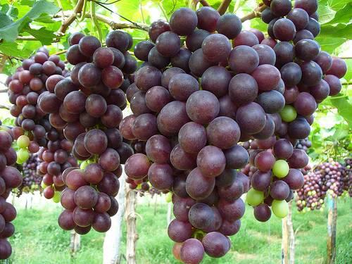 uva-sotto-spirito
